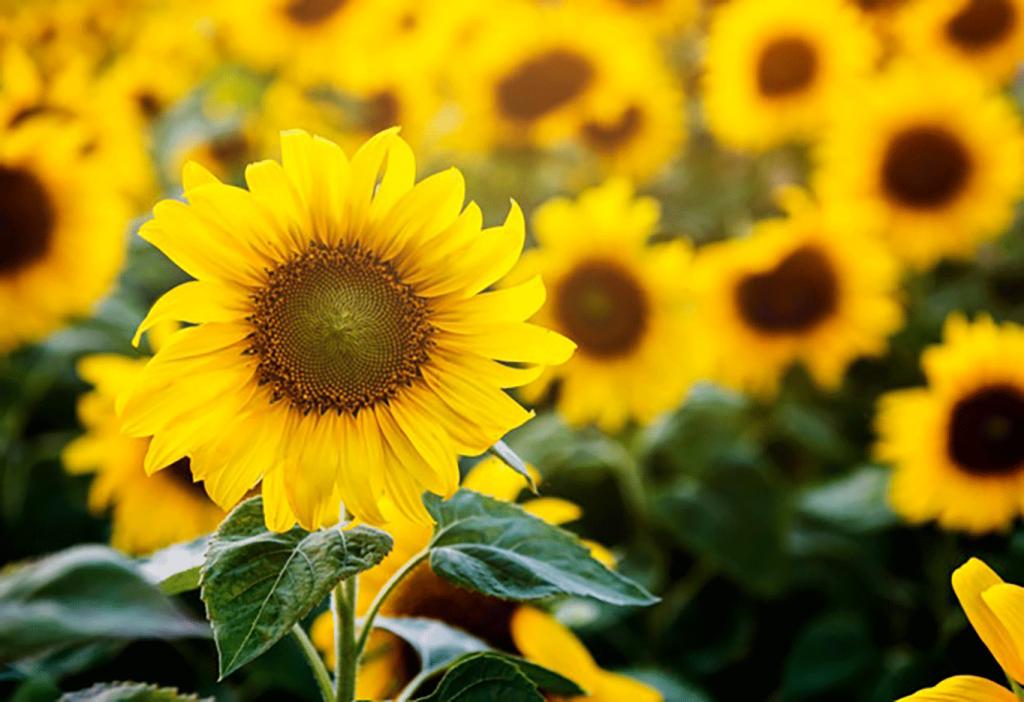 beaux-tournesols-fleurs-terrain_53876-14214