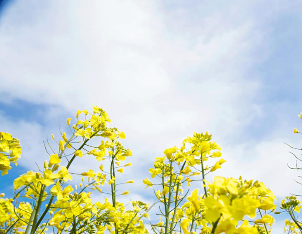 colza-jaune-champ_1182-1004