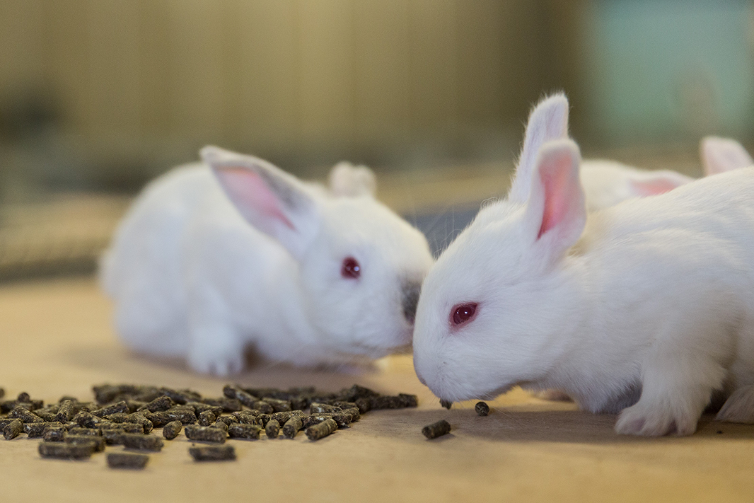 lapins-mangent
